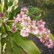 Dracaena fragans, unas Flores muy olorosas.