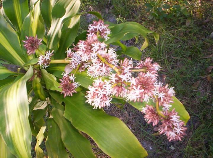 Dracaena fragans, unas Flores muy olorosas. | El Draguito Garden Center