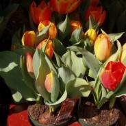 Cuando Plantar Bulbos de Primavera.