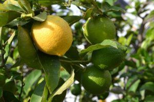 Limón 4 Estaciones
