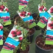 Comprar Arándanos Rojos – Vaccinium macrocarpon.
