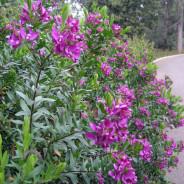 Comprar Polygala myrtifolia es fácil
