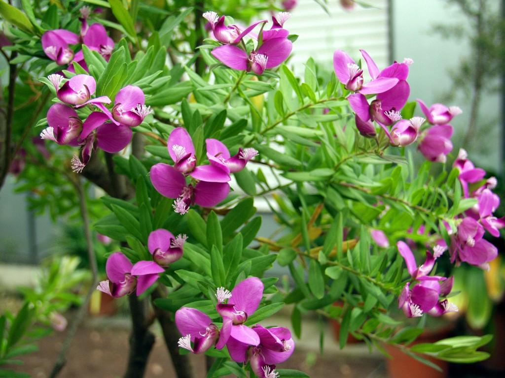 Flores de Polygala myrtifolia.