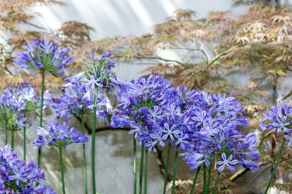 Flores del Agapanthus africanus.