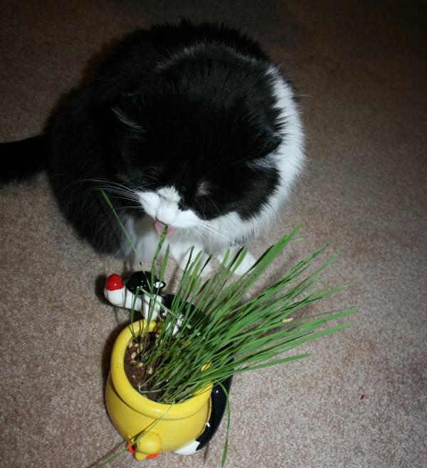 Coloca pequeñas macetas con la Hierba,por los rincones de Casa.