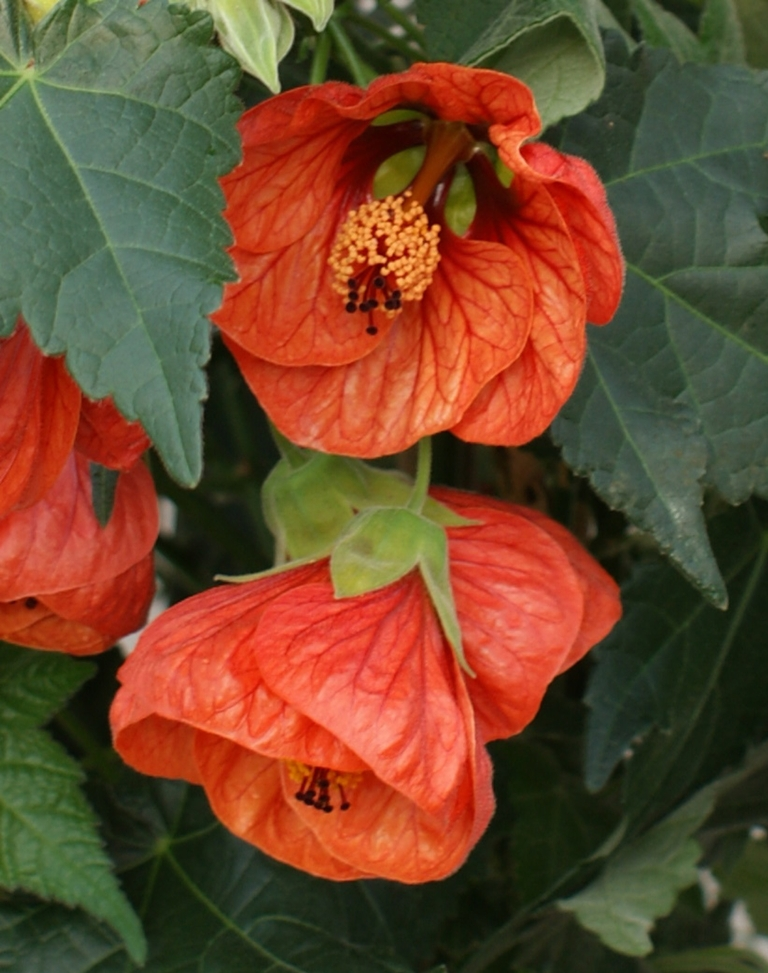 Flores de Abutilón megaponticum