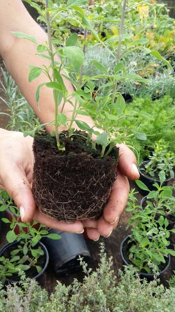 Planta Aromática lista para Trasplantar